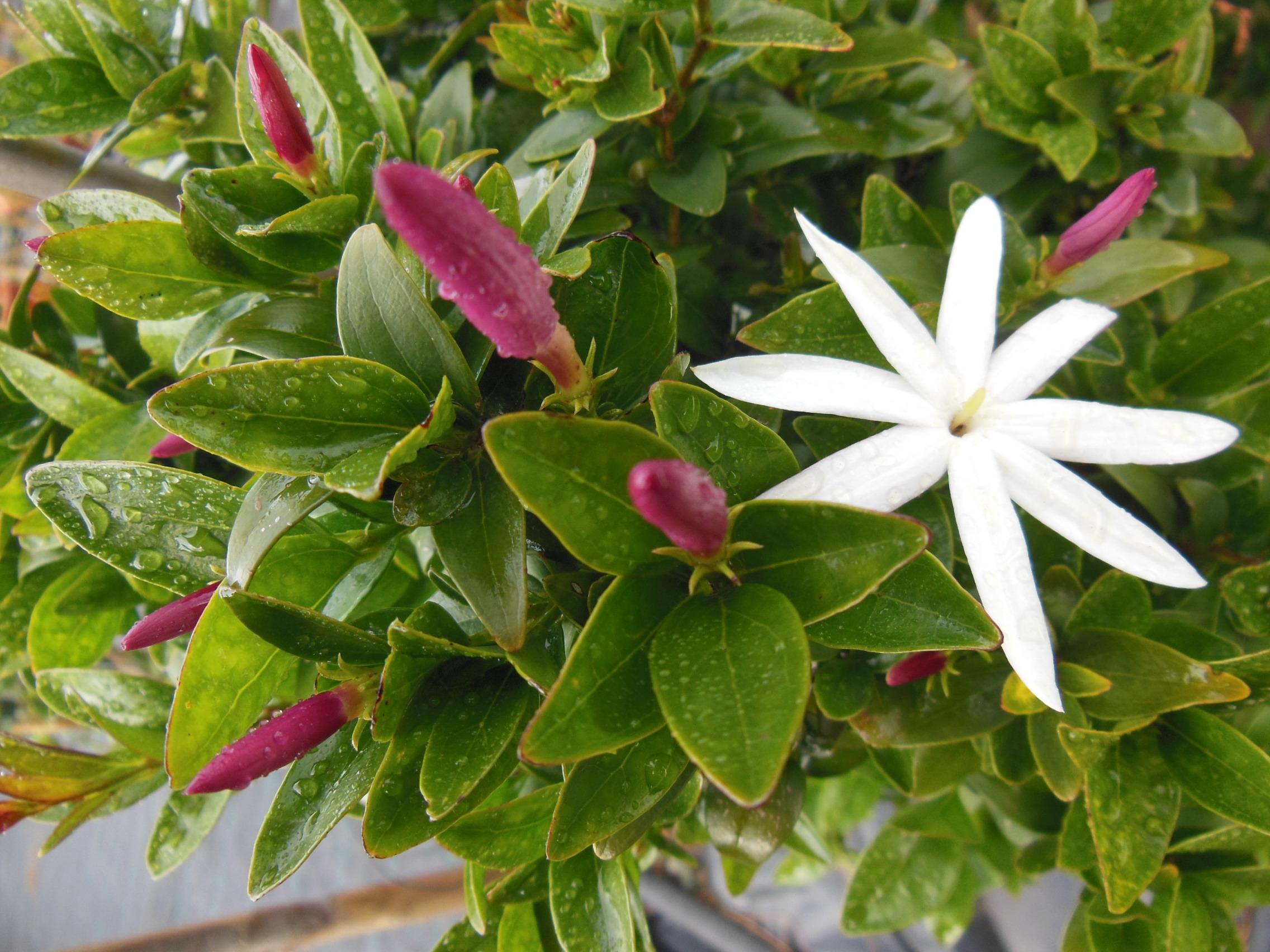 Jasminum multipartitum il gelsomino di primavera malvarosa
